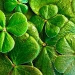 4 leaved clovers